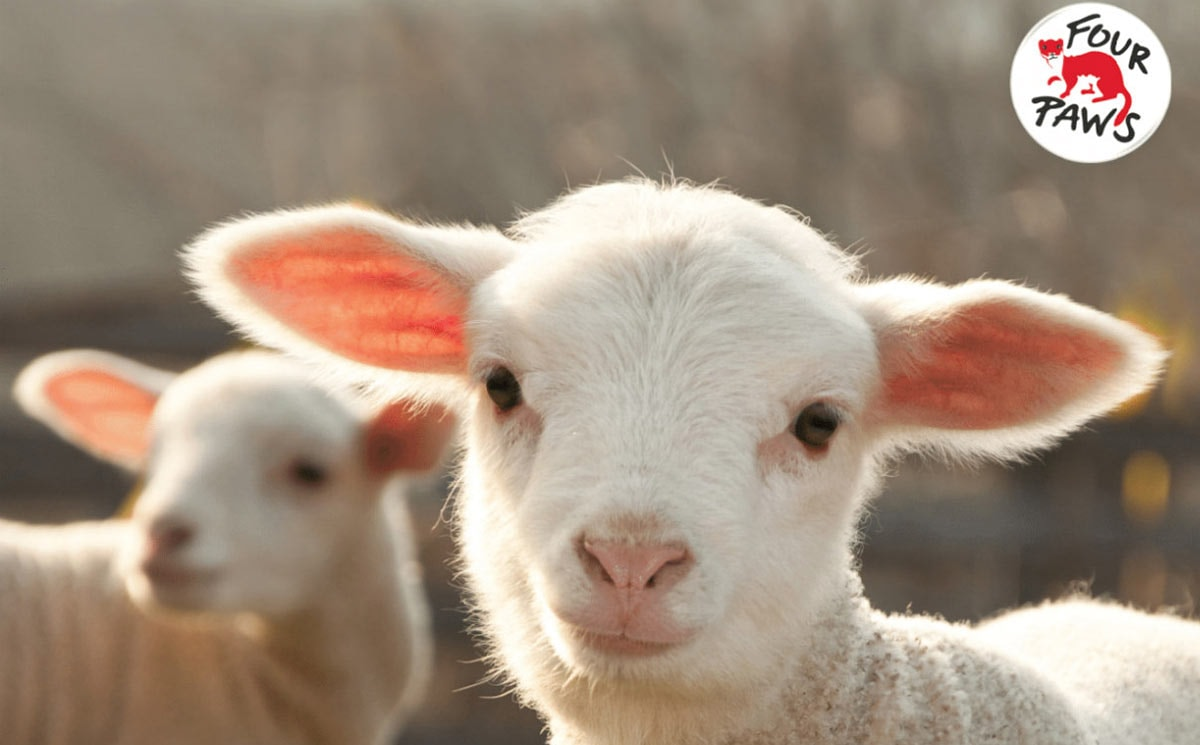 How brands can transition to pain free, non-mulesed sheep wool